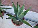 agave parry cod 304